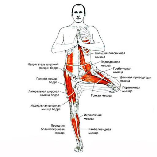 строение тела